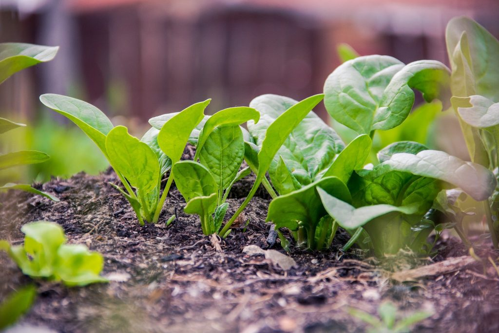 Catalina Spinach is best for growing in containers, indoors. Discover what other plants you can grow on your apartment balcony here.